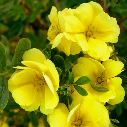 Potentille fruticosa Double Punch® Gold 'MINJAU03'
