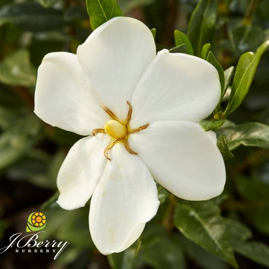 Gardenia x Sweet Heart® 'PS-2013-3'