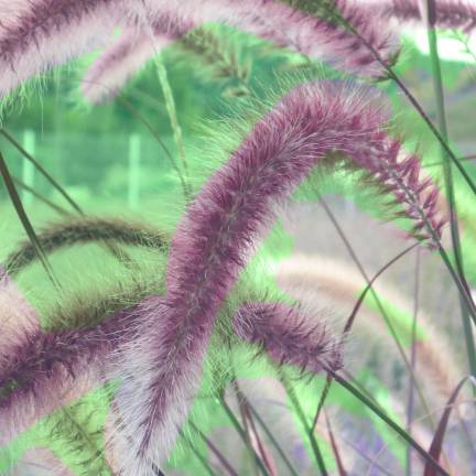Herbe aux écouvillons alopecuroides Red bunny Tails