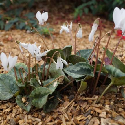 Cyclamen de Naples Ivy Ice White