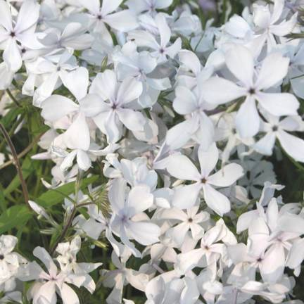 Phlox divariqué May Breeze