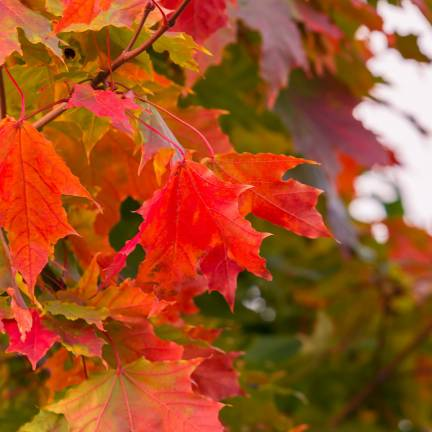 Érable rouge October Glory
