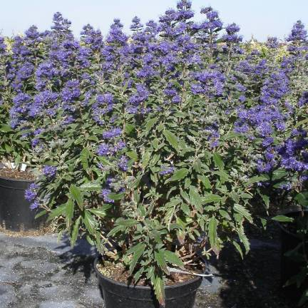Caryopteris x clandonensis Grand Bleu® 'Inoveris'