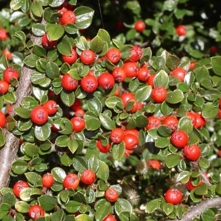 Cotoneaster dammeri Major