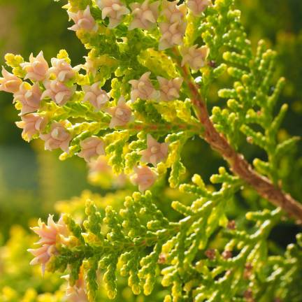 Thuya du Canada occidentalis White Cedar® 'Mirjam'