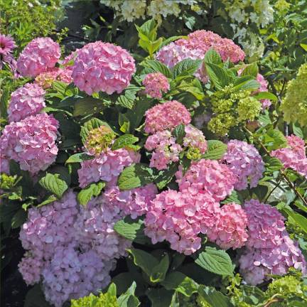 Hortensia macrophylla So Long® Rosy 'COUMONT'