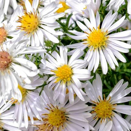 Aster grand d'automne Novi-belgii White Ladies