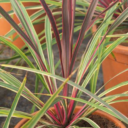 Cordyline australe Can Can®