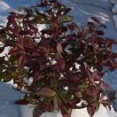 Jasmin étoilé jasminoïdes Winter Ruby® 'Trared'